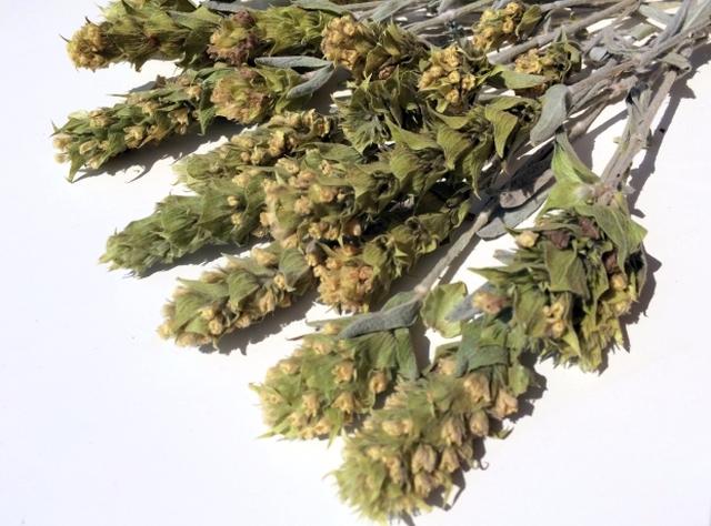 Sideritis Scardica mit buschiger Blütenform