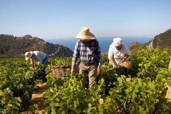 Samos Wein Muskateller auf typischen Terassen